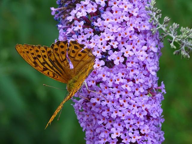 Meer vlinders in je tuin? Plant een vlinderstruik (Buddleja)!