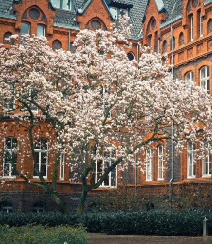 Tulpenboom: Magnolia of Liriodendron?